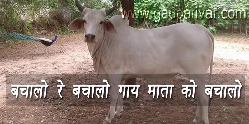 बचालो रे बचालो गाय माता को बचालो