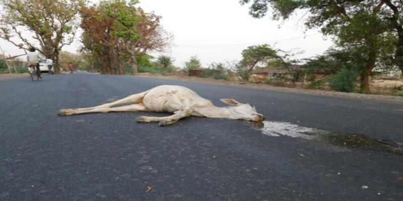 गाय,गौमाता,असुरक्षित , मौत