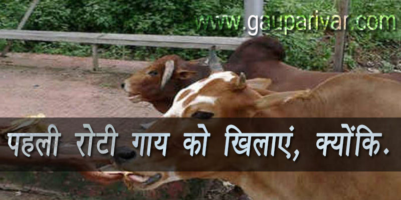 पहली रोटी गाय को खिलाएं, क्योंकि........