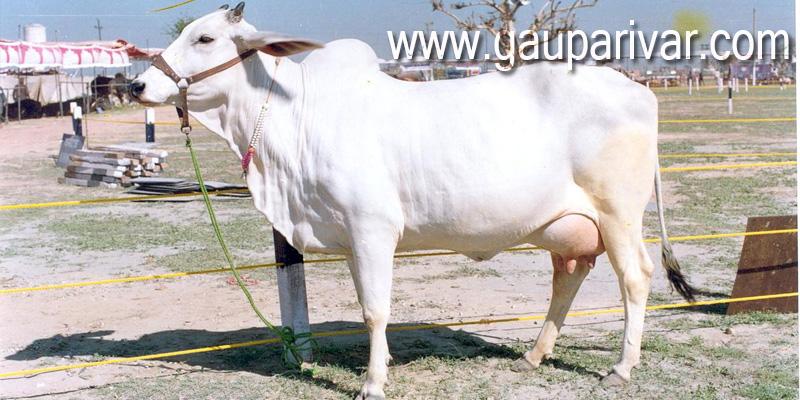 भारतीय नस्ल के गाय की 15 खूबियां, जो उन्हें माता का दर्जा प्रदान करती है