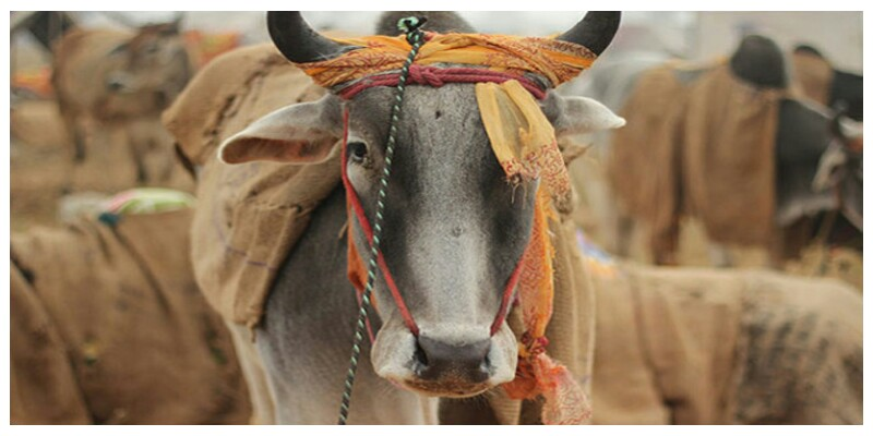 गाय , गौवंस , भारत , राजनीती