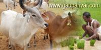गौ सवर्धन और कृषि ...