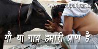 गौ या गाय हमारी संस्कृति की प्राण है