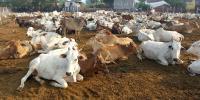 गाय,गौमाता,असुरक्षित