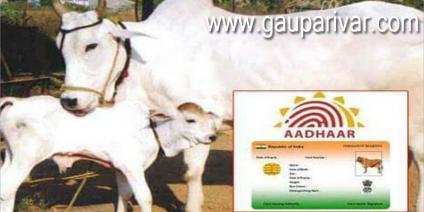 अब गायों का भी बनेंगे आधार कार्ड, रहेगी पूरी डीटेल !
