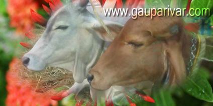 गाय से प्राप्त पदार्थों की महत्ता