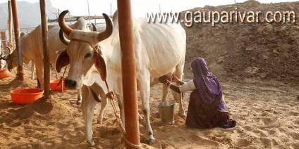 गाय का दूध शिफा है