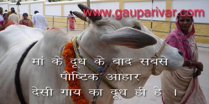 मां के दूध के बाद सबसे पौष्टिक आहार देसी गाय का दूध ही है ।