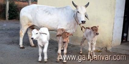 लावारिस गायों