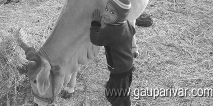 गाय के दूध पीने का यह फायदा नहीं जानते होंगे आप